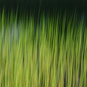 Aquatic grasses in motion underwater, in the Alpine Lakes Wilderness - stock photo