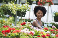 A woman working amongst flowering plants. Red and white geraniums - stock photo