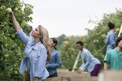 Organic orchard. A group of people picking green apples from the trees. - stock photo