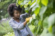 Stock Photo of A woman picking green beans in a vegetable garden.