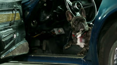 French bulldog jumping out of the Corvette Stock Footage