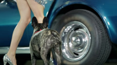 Woman opens the door of blue Corvette for french bulldog to enter the car Stock Footage