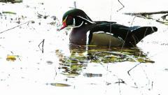 American Wood Duck (Aix sponsa) Male drake Stock Footage