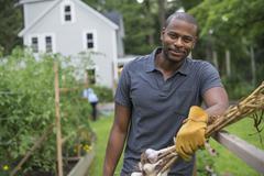A man in gloves harvesting garlic bulbs in the vegetable garden. Stock Photos