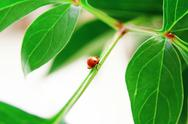 Stock Photo of ladybug on green leaf