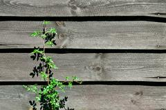 old wooden wall with plant - stock photo