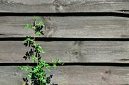 Stock Photo of old wooden wall with plant