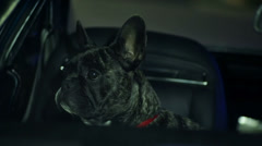 French bulldog looking through the car window - stock footage