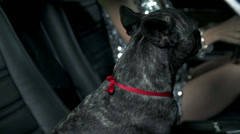 Female driver fondles french bulldog on the passenger seat Stock Footage