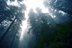deep foggy redwood forest in northern california - stock photo