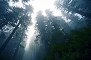 Stock Photo of deep foggy redwood forest in northern california