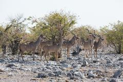 Kudu antelope group Stock Photos