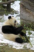 Giant panda bear eating bamboo leaf - stock photo