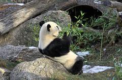 Giant panda bear eating bamboo leaf - stock photo