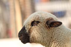 Side view of white furry  lamb Stock Photos