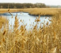 Common reed Stock Photos