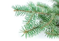 Stock Photo of fir tree branch