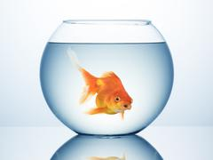 Gold fish in bowl Stock Photos