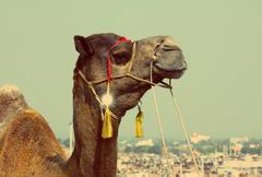 Kameli aikana festivaalilla pushkar - vintage retro style Kuvituskuvat