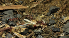 Cicada Attacked by Bull Ants 26 Stock Footage
