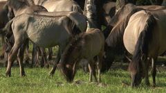 Herd of wild horses (duelmen ponies) grazing closeup Stock Footage