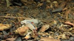 Stock Video Footage of Cicada Attacked by Bull Ants 28