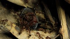 Ants with prey Beetle 1 of 4 Stock Footage