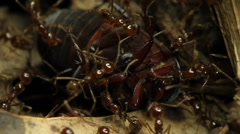 Ants with prey Beetle 2 of 4 Stock Footage