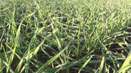 Stock Video Footage of winter crop melt rime