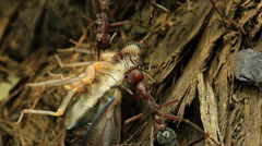 Cicada Attacked by Bull Ants 9 - stock footage