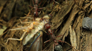 Stock Video Footage of Cicada Attacked by Bull Ants 9