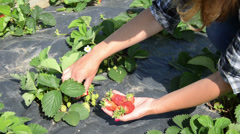 Closeup gardener girl hand pick ripe strawberry berry in garden. Stock Footage