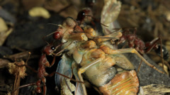 Cicada Attacked by Bull Ants 18 - stock footage