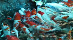 Japanese koi fish Stock Footage