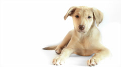 Puppy turns his head on a white background Stock Footage