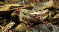 Cicada Attacked by Bull Ants 23 - stock footage