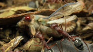 Stock Video Footage of Cicada Attacked by Bull Ants 23