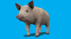 Pig Eating Frontal View FS - stock footage