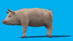 Pig Standing Idle Side View FS - stock footage