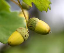 Green acorns on the oak branches - stock photo