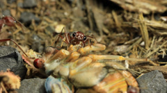 Cicada Attacked by Bull Ants 20 Stock Footage