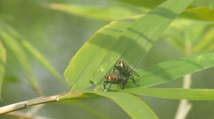 Flies Mating on Bomboo leaves Stock Footage