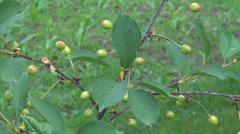 Sour cherry unripe green tree garden orchard green leaf organic fruit farm day Stock Footage