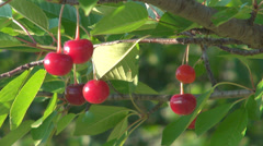Farmer worker hand pick up collect sour cherry ripe mature fruit orchard organic - stock footage