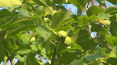 Walnut tree fruit closeup natural ripe green leaf sunny day summer sunlight sun Stock Footage