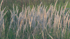 Reed plant foliage leaf closeup detail closeup silhouette straw landscape meadow Stock Footage