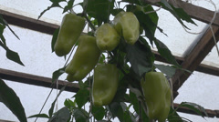 Group green paprika stack vitamin food harvest interior greenhouse day pepper  Stock Footage