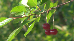 Organic nutritional sour cherry green leaf tree snack farm foreground crop fruit Stock Footage