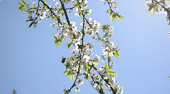 Chafer beetles fly fruit tree twig blooms move wind blue sky Stock Footage