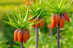 crown imperial flowers (fritillaria imperialis) - stock photo